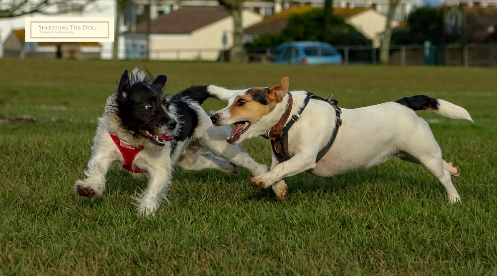 Terrier games in the park